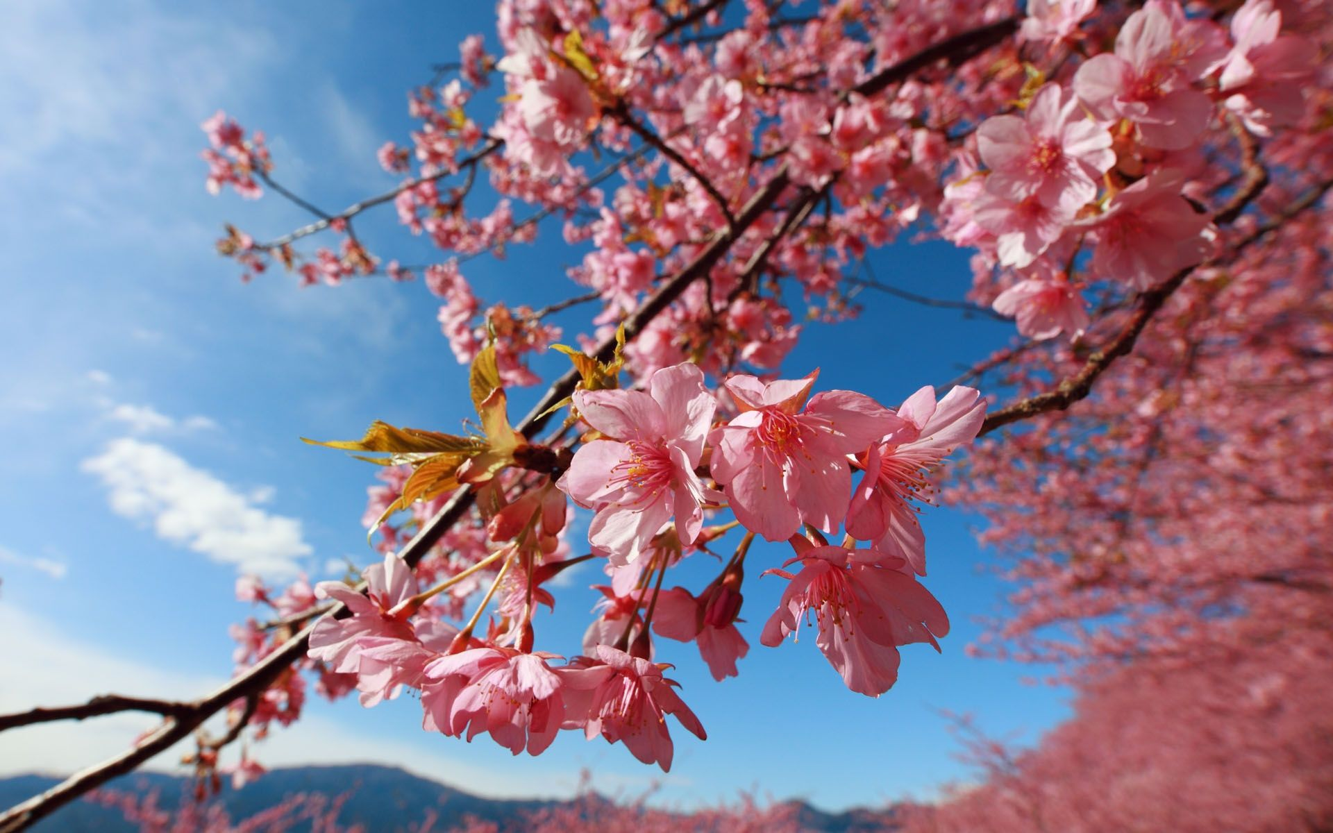 x Japanese Cherry Blossom desktop PC and Mac wallpaper