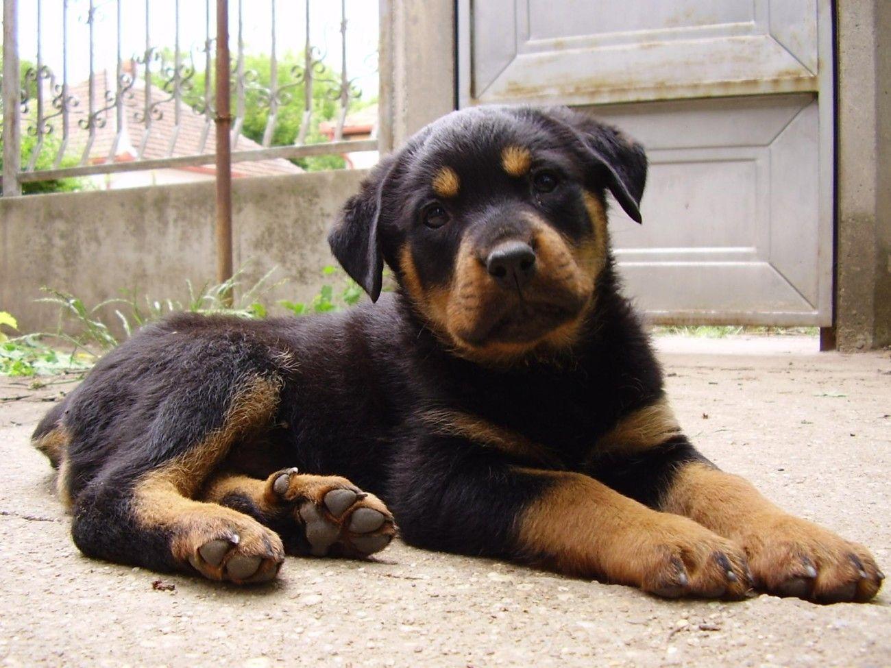 Rottweiler Puppy Rottweiler puppies, Puppies