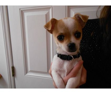 Floppy Ears Chi Hua Hua S Chihuahua Puppies For Sale