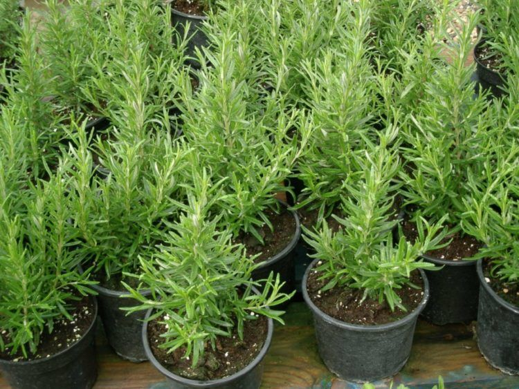 Plantas para controlar las plagas del jardín Plantas Ornamentales