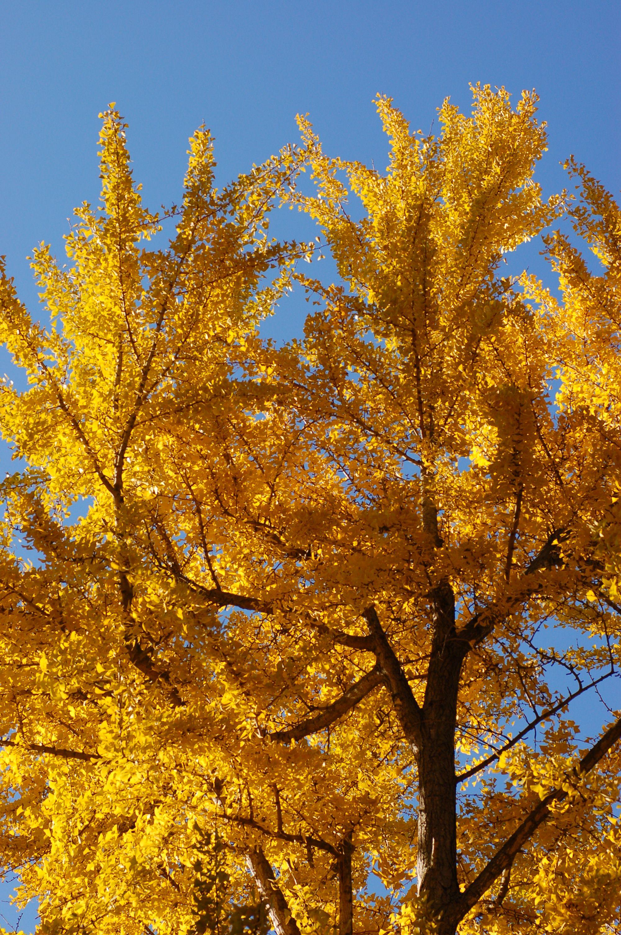 Tree Description Ginkgo Tree Ginkgo Biloba Autumn Leaves