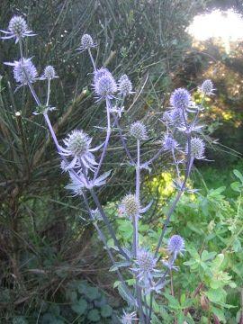 Mikolajek Plaskolistny Eryngium Planum Sea Holly Uprawa Mikolajkow Plaskolistnych Kwiaty Wieloletnie Byliny Kwiaty Efektownie Kw Plants Flowers Dandelion