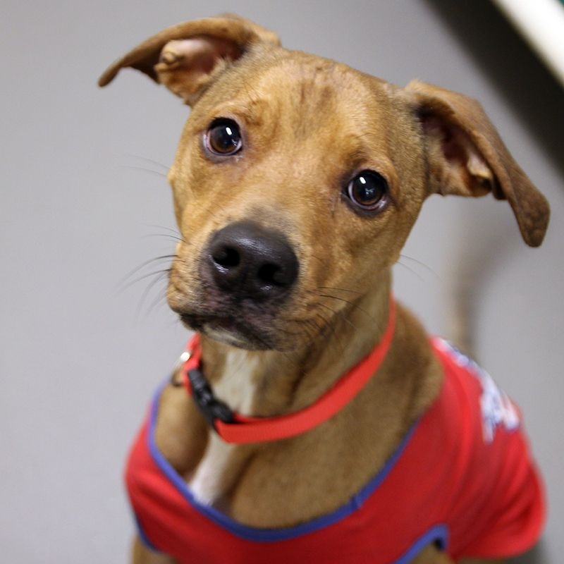 Beau SPCA of Texas (Dallas) (With images) Dog adoption