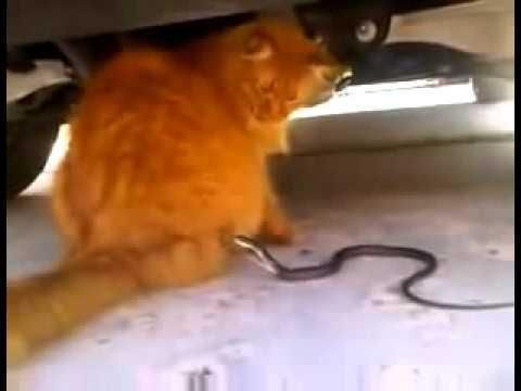 Snake Tries To Attack Cat
