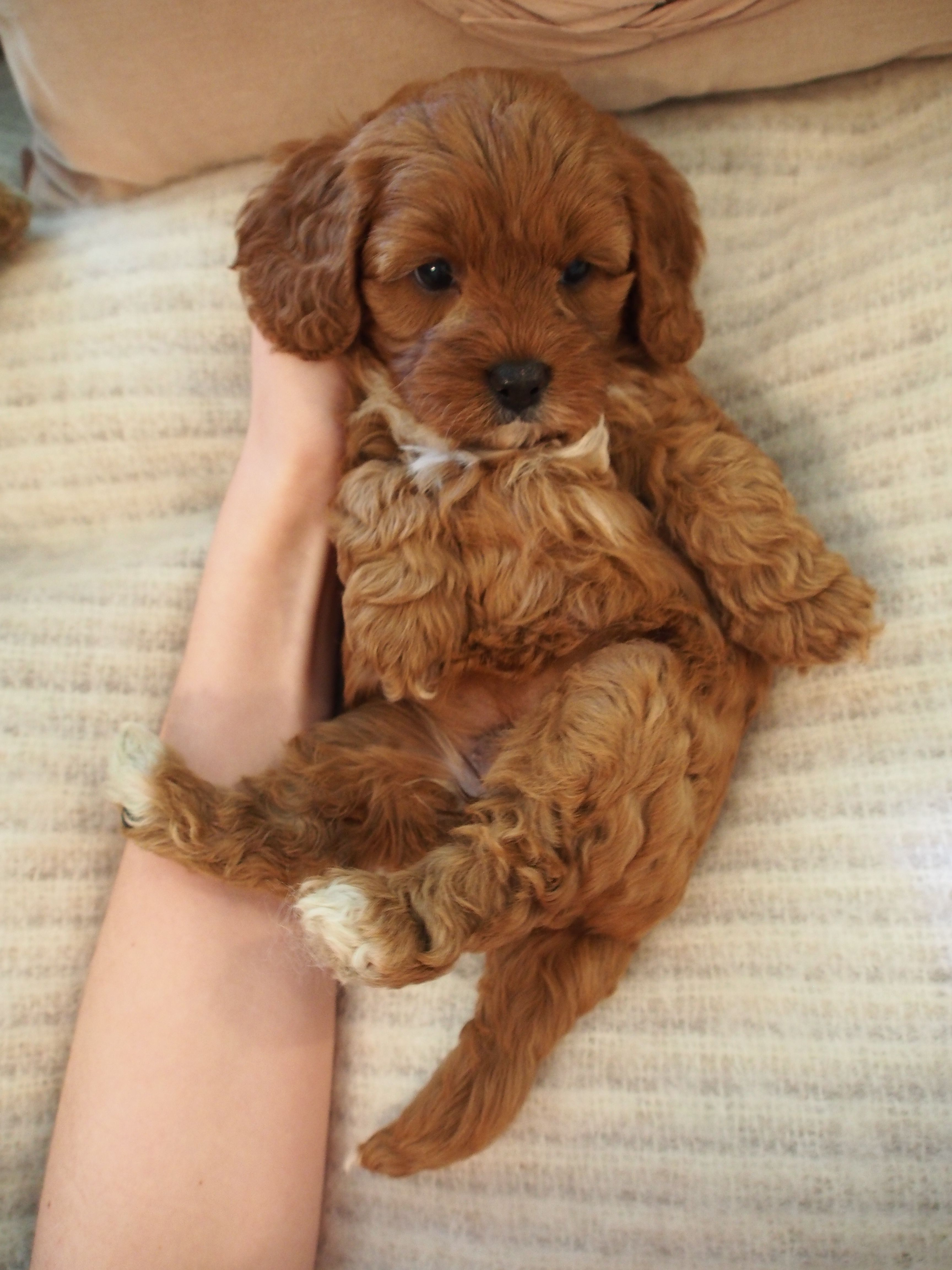 Lavender S Red Girl Cavapoopuppies Cute Puppies Puppies Cute Baby Animals
