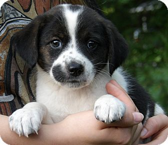 Raggle Rat Terrier X Beagle Mix Info Temperament Training