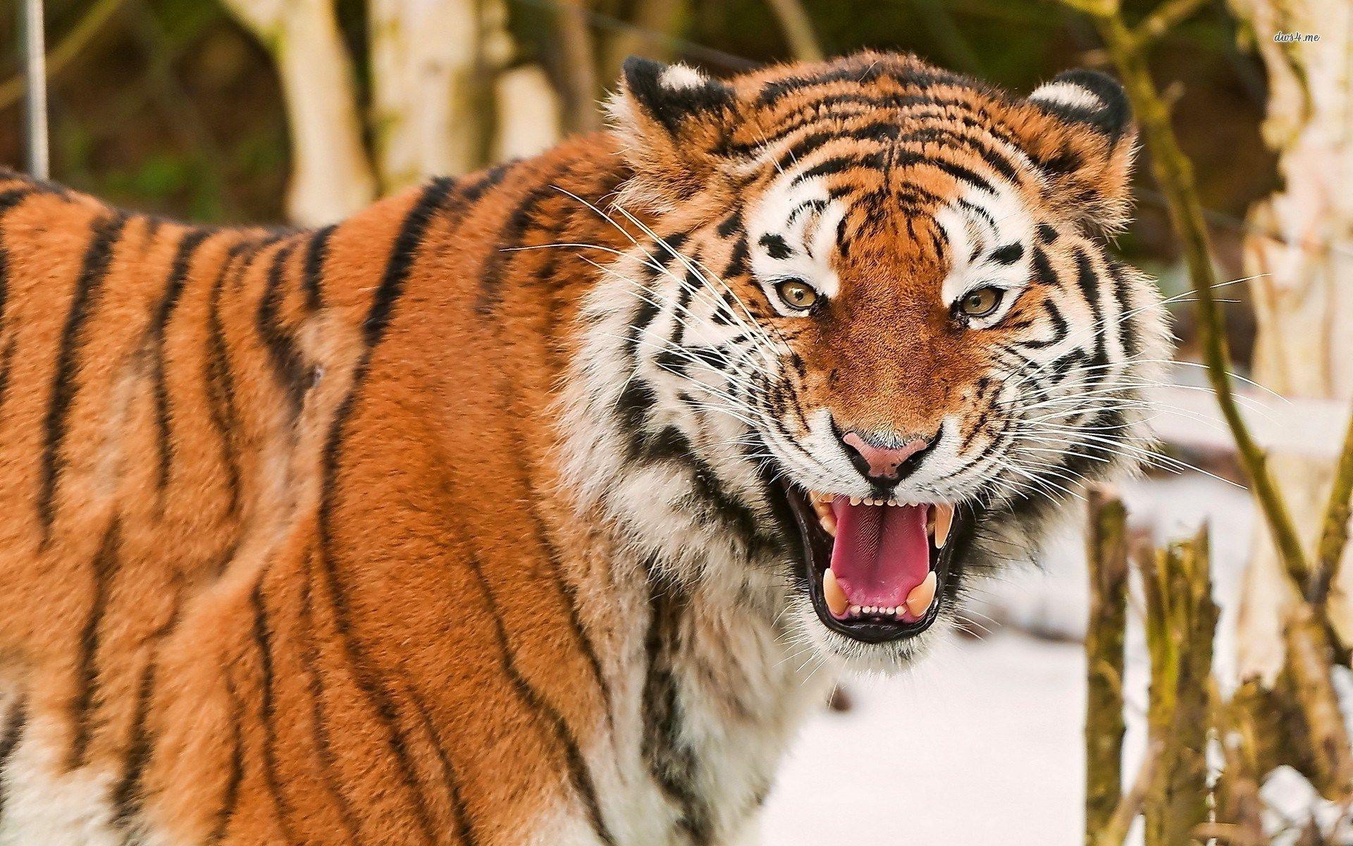 Animal Background Desktop Free Tiger Wallpaper Tiger Images Pet Birds