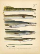 Indian Mottled Shortfin Eel Yellow Daggertooth Indian Pike Conger Wire Eel Fish Print Rare Fish Fish