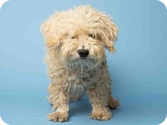 Pictures Of Iggy A Poodle Miniature Mix For Adoption In Phoenix