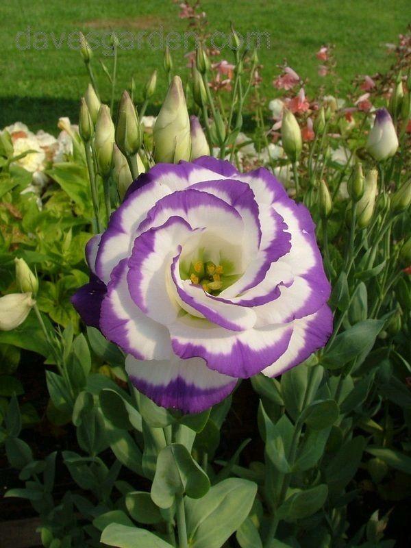 Lisianthus Double Mariachi Blue Picotee Eustoma Grandiflorum Lisianthus Flowers Amazing Flowers Beautiful Flowers