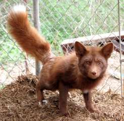 Some mutations outside of the Marbled variety have produced very unique animals. Cinnamon Red Fox are nearly a rust color while others such as the Red Pearl Fox has a pearl gray color where a red fox would normally be black (the ears, feet and sometimes tail).