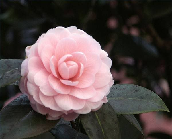 Camellia Photo By 009kid16 Photobucket Flower Seed Gifts Flower Seeds Planting Bulbs