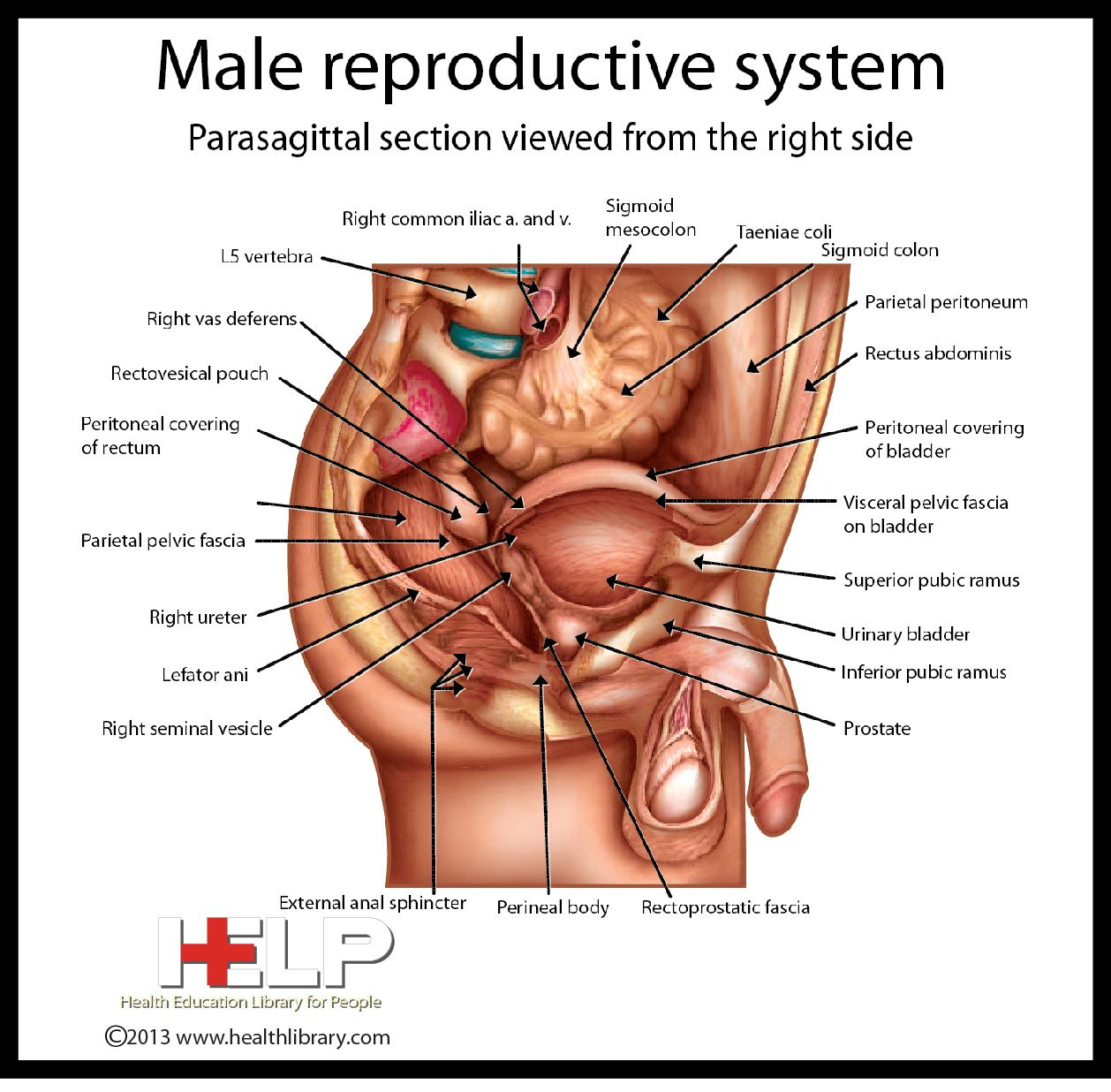 Male Reproductive system | Anatomy-study | Pinterest | Reproductive ...