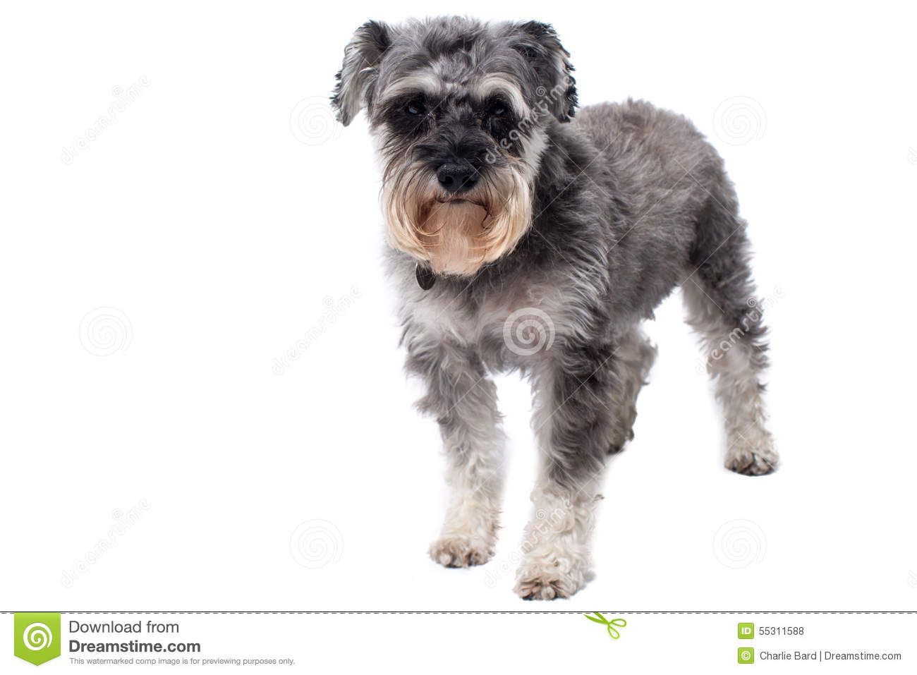 Black And Grey Schnauzer