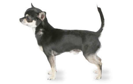 Chihuahua Dog Breed Information Pictures Characteristics Facts
