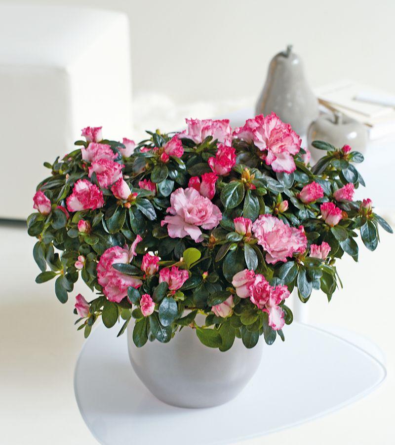 L\'azalée Flandresse illuminera votre intérieur !   Flores   Pinterest