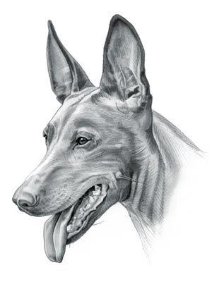 Pharaoh Hound Dog | dogs | Pharaoh hound, Hound dog, Hound