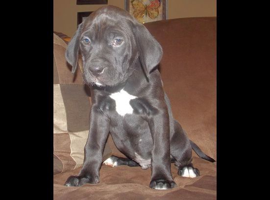 Boxador For Sale In Utah 1 23 13 The Perfect Dog Boxer Lab