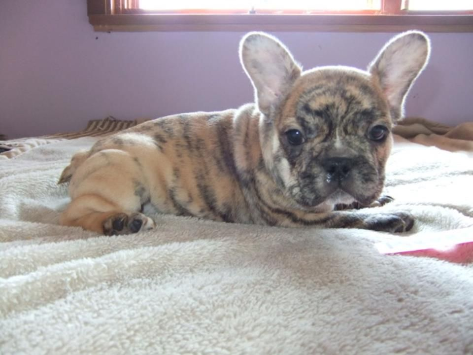 Reverse Brindle Brindle French Bulldog Cute Cats And Dogs Cute Dogs