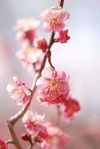 Ode To The Cherry Blossom Flowers Beautiful Flowers Pretty Flowers