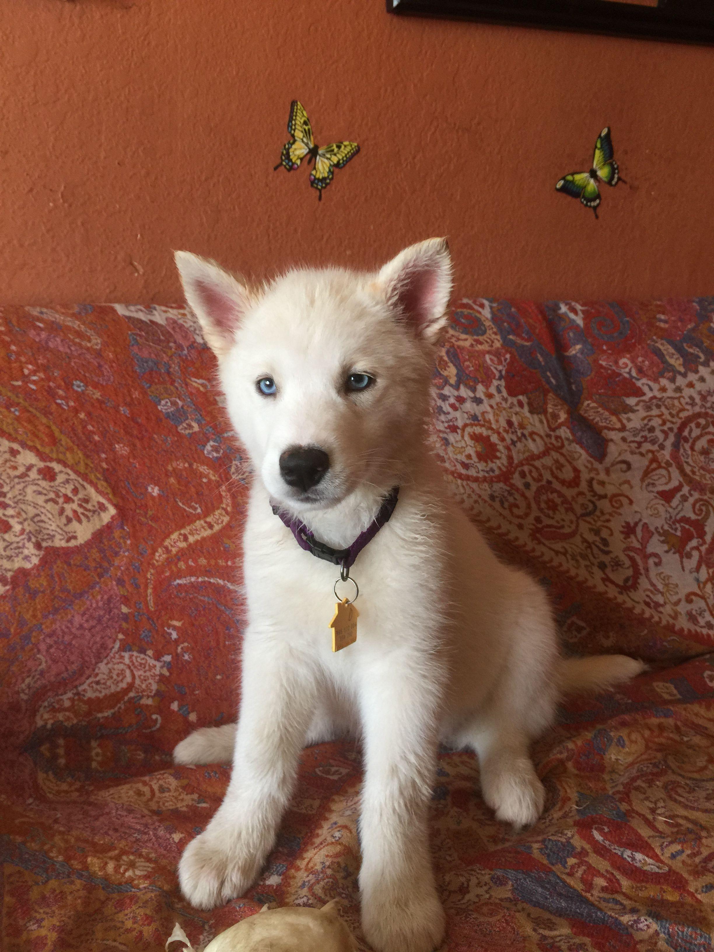 Dakota blue eyed female siberian husky available for