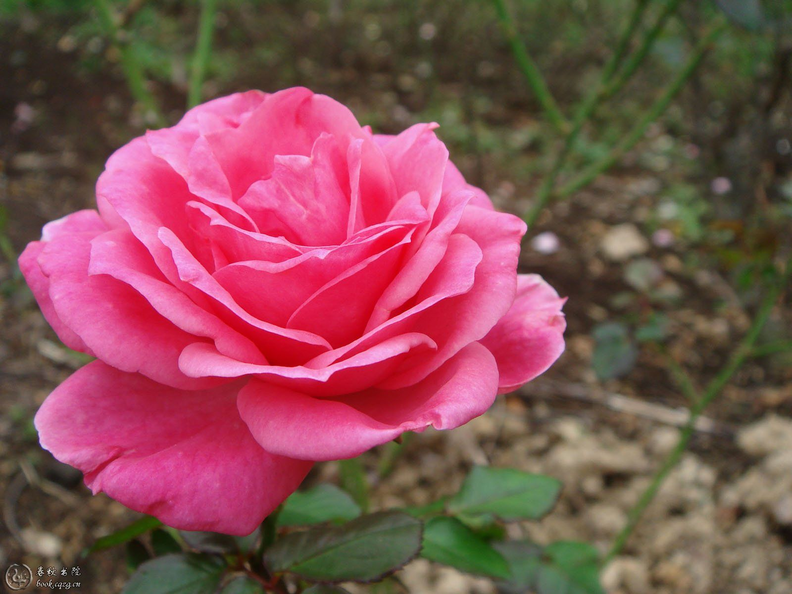 Pink rose | Pink... | Pinterest | Dfs, Pink roses and Flowers