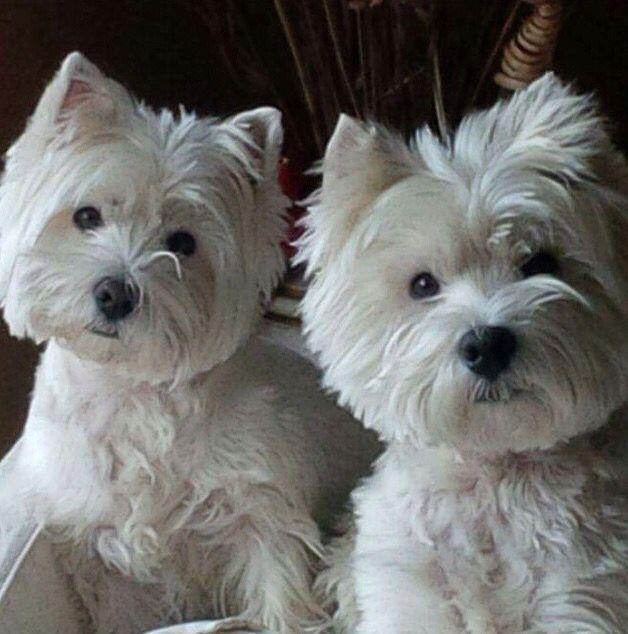 Via Scotties And Westies Westie Puppies Westie Dogs Pregnant Dog