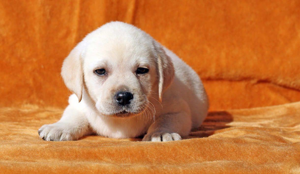 A Yellow Labrador Puppy Laying On Orange Background Miniature Labrador Labrador Retriever Labrador Retriever Puppies