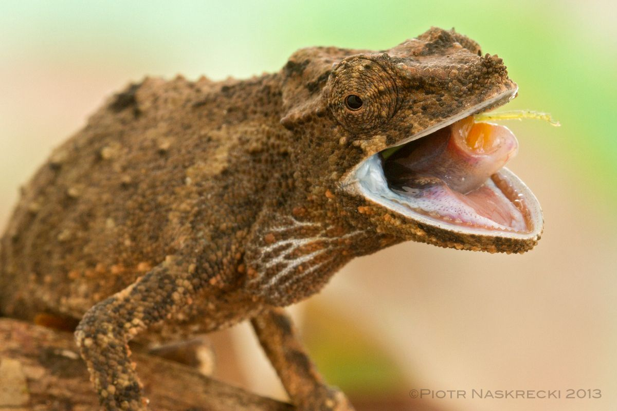 5c9bed2f38323759db29c1d1c88ecc7f - How To Get A Chameleon To Open Its Mouth