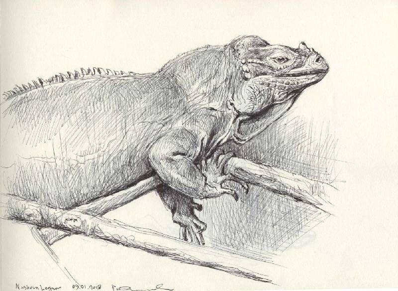 PAINTING - RHINOCEROS IGUANA (Neushoornleguaan) | Lion sculpture, Painting  & drawing, Drawings