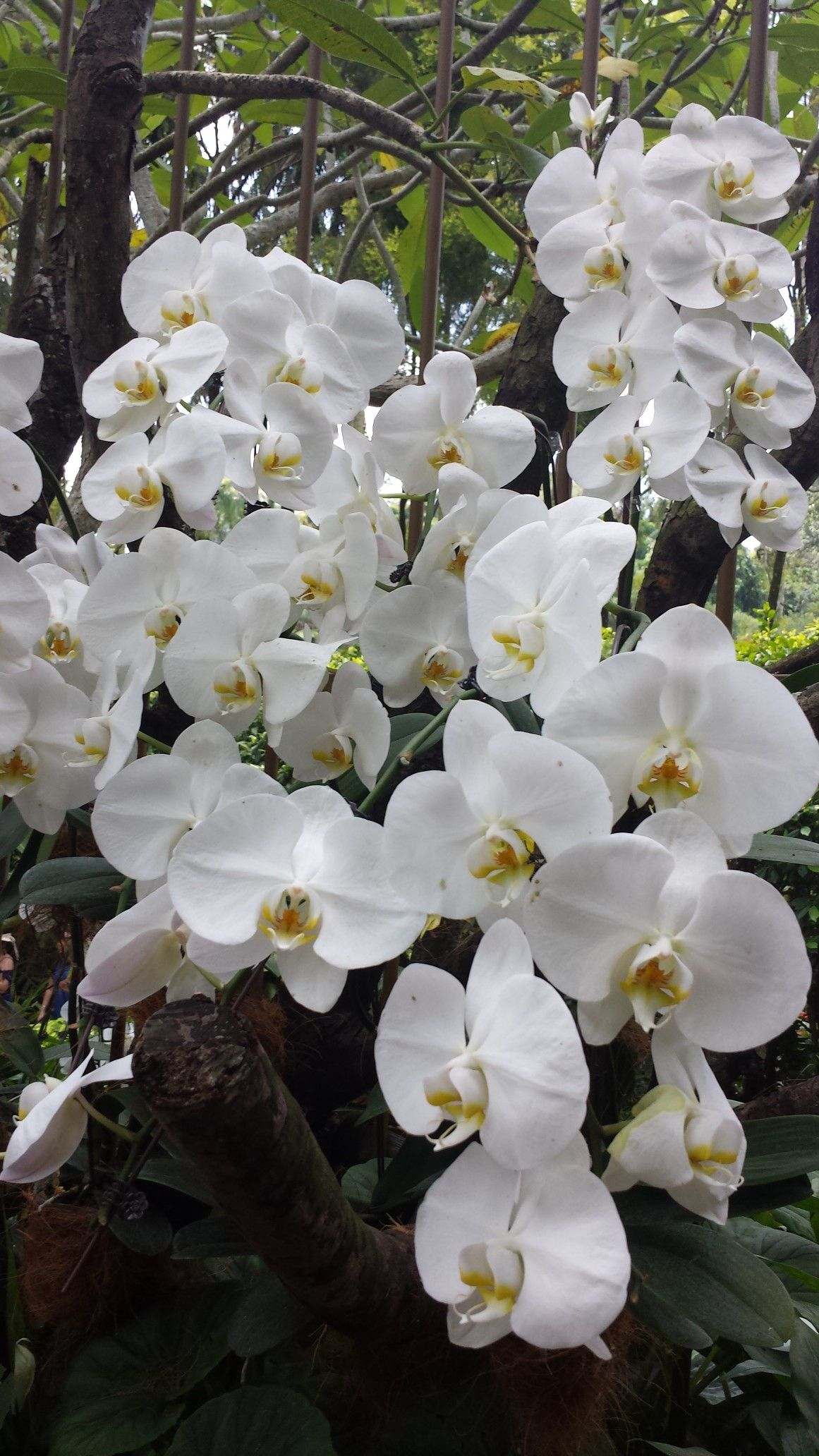Pin By Flowers In Heart On Phalaenopsis Orchids Growing Orchids Phalaenopsis Orchid Orchid Meaning
