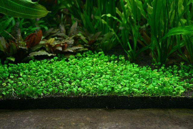 Top 5 Foreground Carpet Plants Plants Freshwater Plants Planted Aquarium