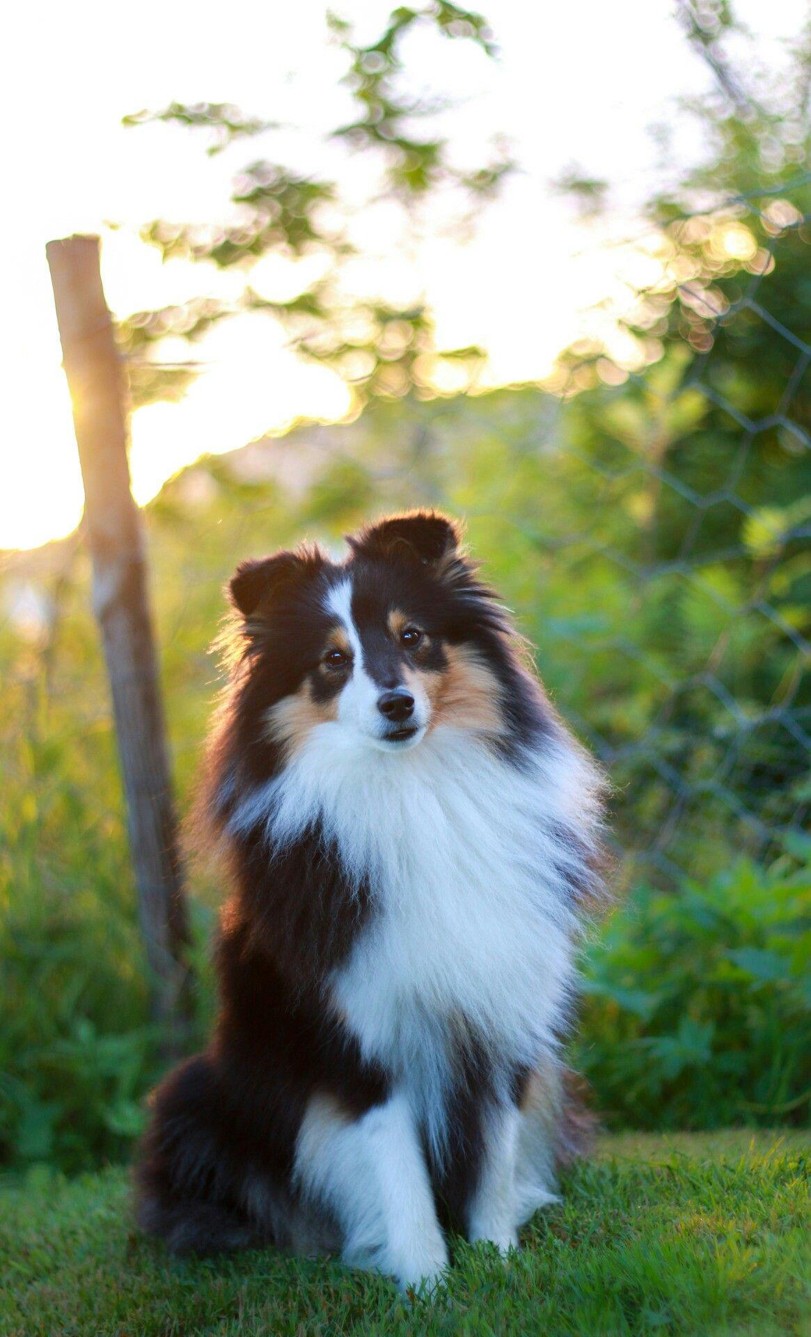 Pin By Kristine Eker On Dogs Sheltie Dogs Shetland Sheepdog Puppies Dogs