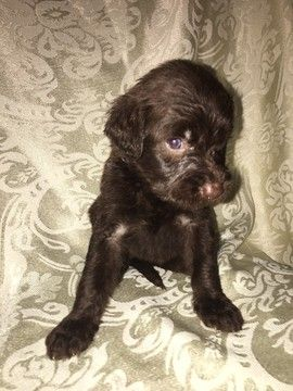 Litter Of 9 Labradoodle Puppies For Sale In Louisville Ky Adn