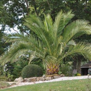 Choisir Son Palmier D Exterieur Palmier Phoenix Jardin