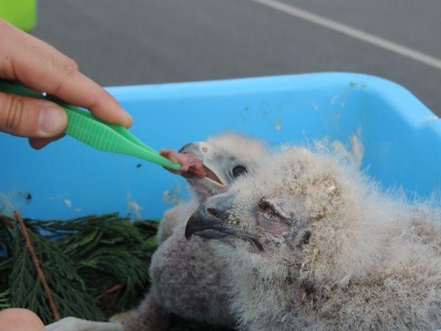 Alimentando polluelos