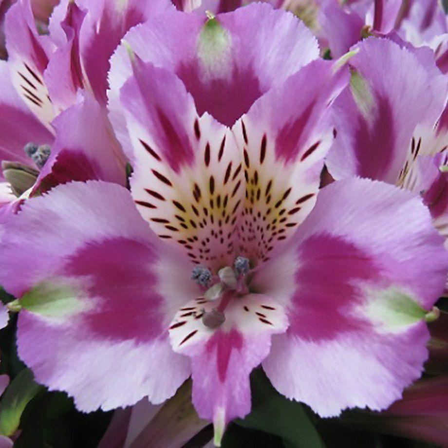 alstroemeria inca mystic plants gardens and perennials. Black Bedroom Furniture Sets. Home Design Ideas