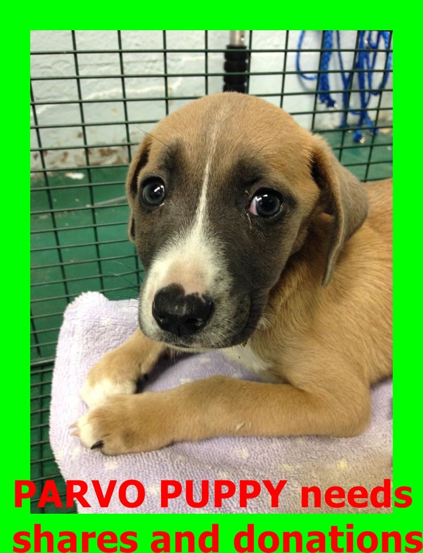 Safe But Needs Donations Http Www Youcaring Com Medical Fundraiser Parvo Puppy From Mdas A1669080 283035 Urgent This Adoption Dog Adoption American Animals