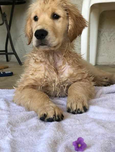 Golden Puppy Sitting Up Puppy Doglovers Goldenretriever Cute