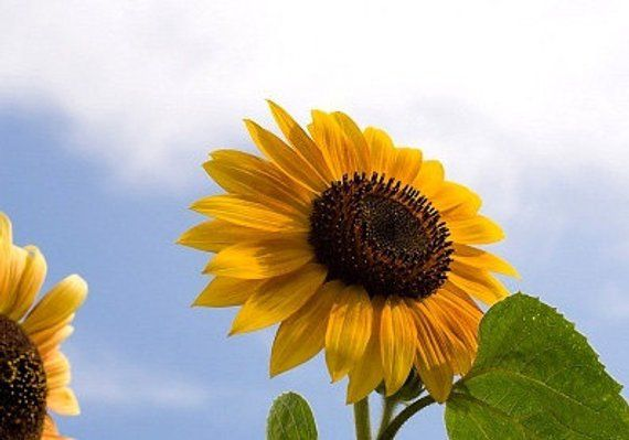 Pin On Mammoth Sunflower Seeds