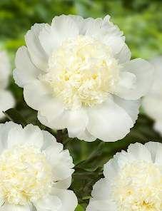 Paeonia Charles White