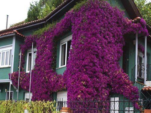 Enredaderas o trepadoras para cubrir pared en jardin - Imagenes de terrazas con plantas ...