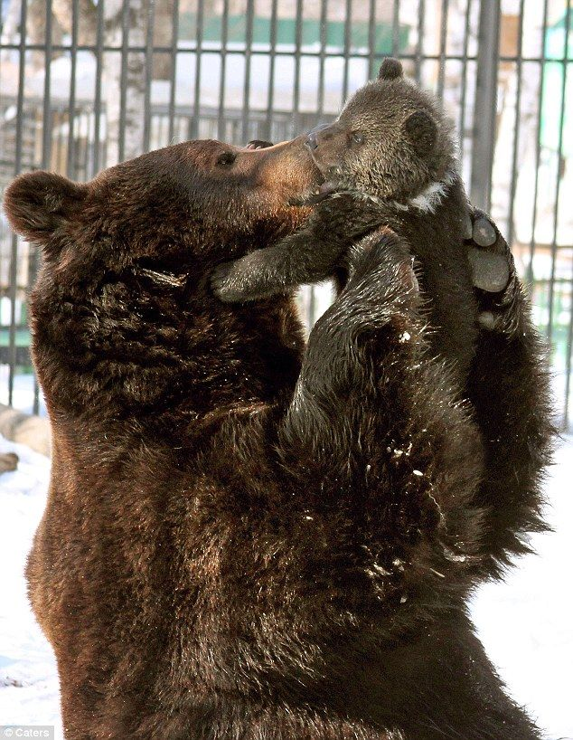 """""""Father Balu has formed an unusually tight bond with his female cub Diva.  Keepers at Primorsky Zoo in Russia were stunned by Balu's unusual devotion to his daughter."""""""