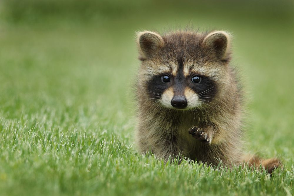 Although Raccoons Are Generally Scared Of Humans And Pose No Threat To Personal Well Being They Can Pose A Thre Baby Raccoon Cute Baby Animals Animal Pictures