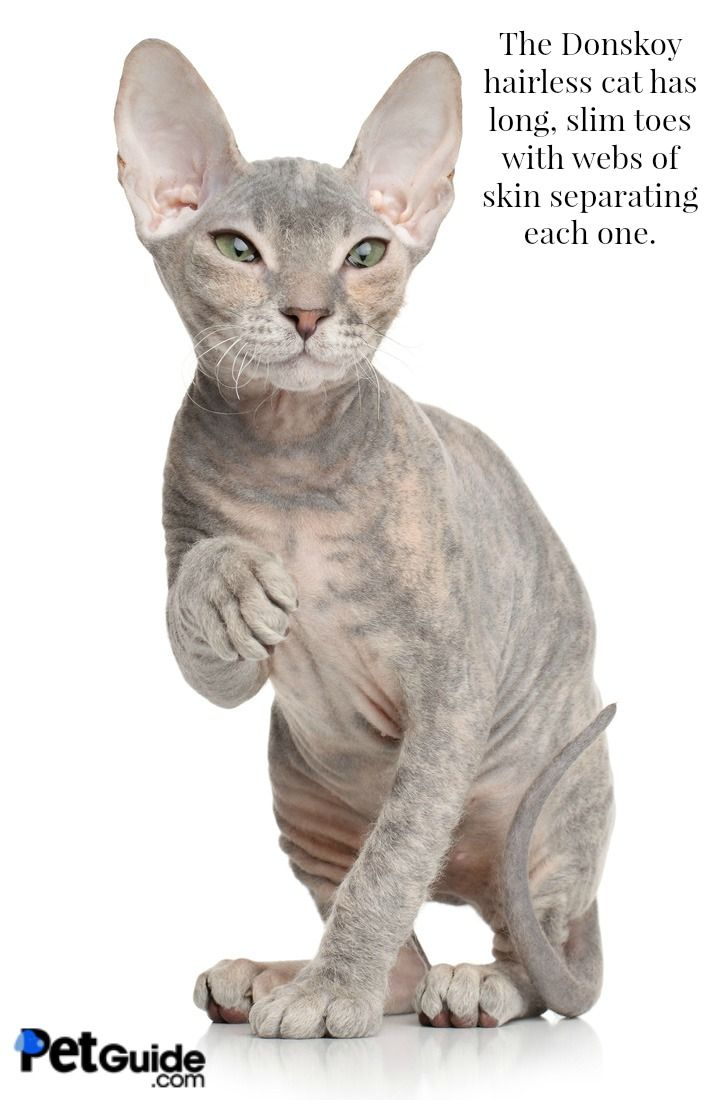 Bald cats: what are these wonderful creatures 80