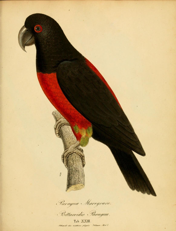 Parrots. Monographia Psittacorum Munich :s.n.,1832 Biodiversitylibrary. Biodivlibrary. BHL. Biodiversity Heritage Library