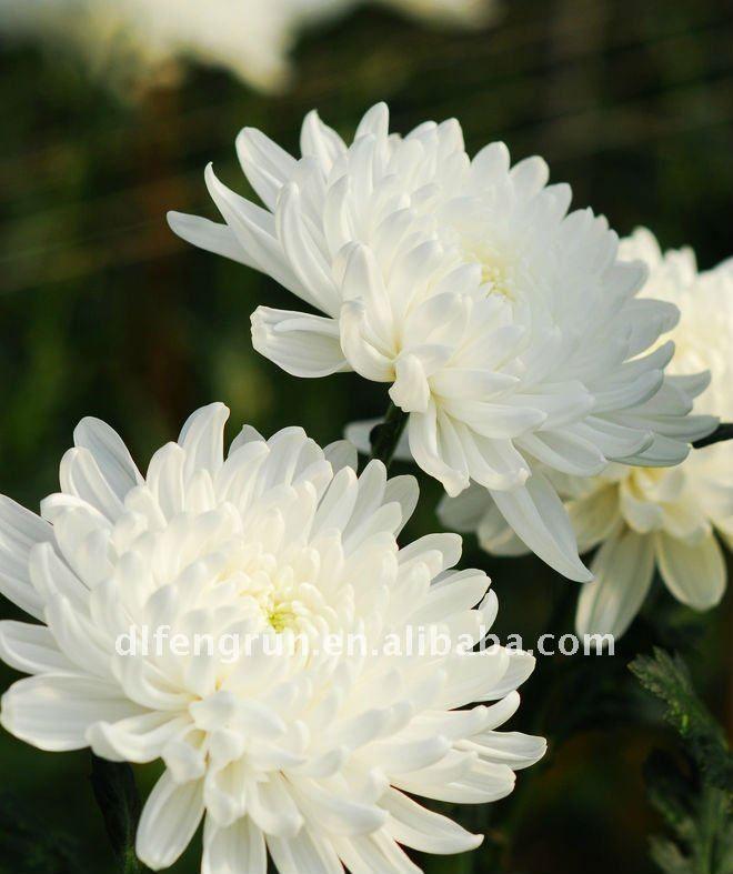 Valkoinen krysanteemi (chrysanthemum)