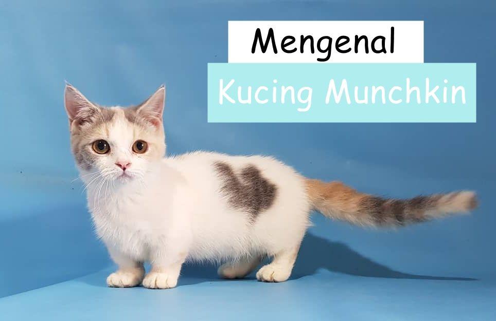 Mengenal Lebih Dekat Dengan Kucing Munchkin Kucing Munchkin Kucing Perawatan Kucing