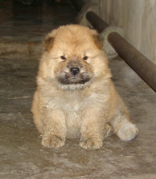 Cute Chow Chow Puppy In Uk Chow Chow Puppy