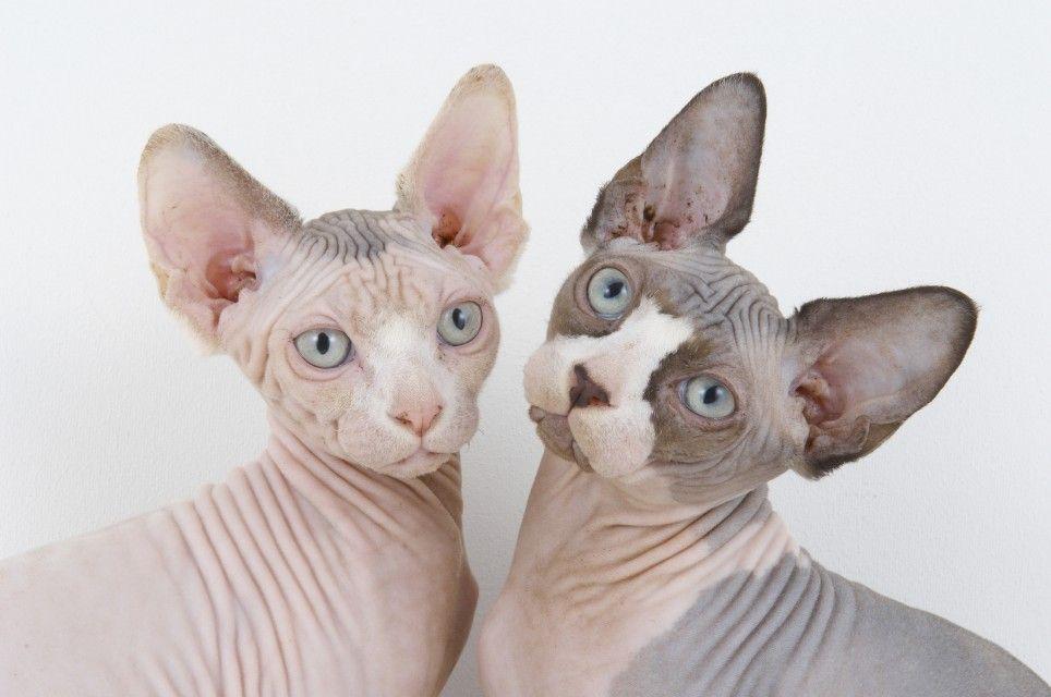 sphynx cat ile ilgili görsel sonucu